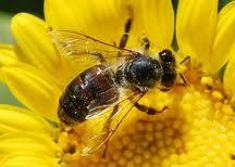 การรักษาโรคด้วยผึ้ง